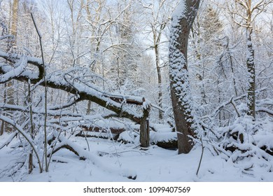 Winter landscape of natural forest with dead oak tree trunk lying,Bialowieza Forest,Poland,Europe