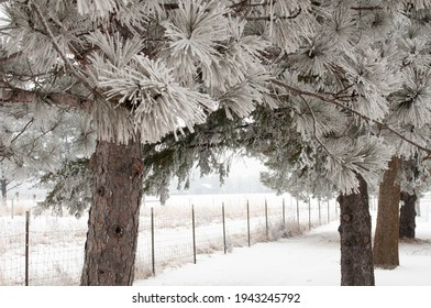 Winter landscape: needles on pine trees and fence covered with frost