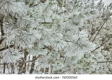 Winter landscape. On the branches of spruce there are large accumulations of snow. From the sky fall, light snowflakes and, dancing in the air, lie on the branches of trees.