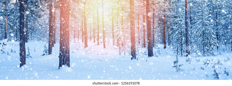 Winter landscape. Panorama with snow-covered coniferous forest and falling snow