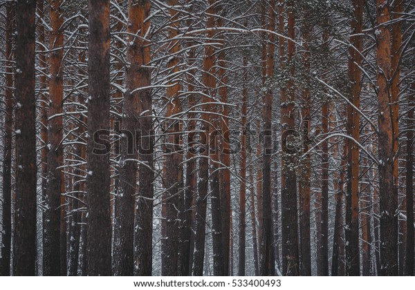 Winter Landscape Winter Pine Forest Real Stock Photo (Edit
