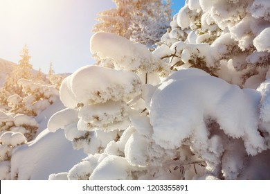 Winter landscape, pine tree covered by snow lit by morning sun