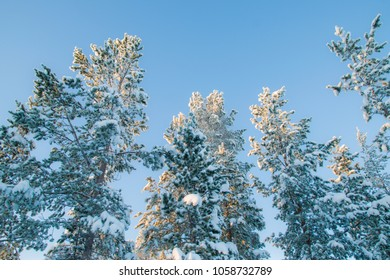 Winter landscape with pine trees in Northern Finland in January. Trees are covered with hoarfrost and snow. Color toning applied.