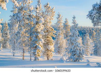 Winter landscape with pine trees in Northern Finland in January. Trees are covered with hoarfrost and snow, lighted by morning sunlight. Color toning applied.