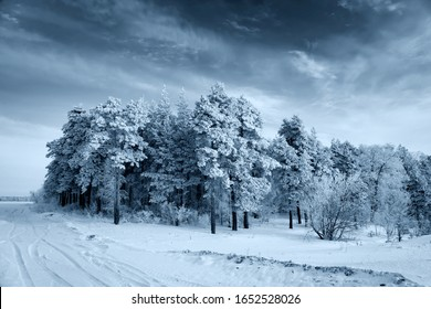 Winter landscape - pine trees in the snow