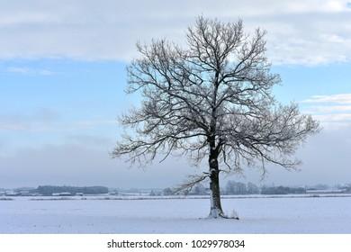 Winter landscape . Place near Siauliai,Lithuania. Beautiful misty view,lonely tree.