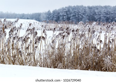 Winter landscape: reeds and snow against the forest