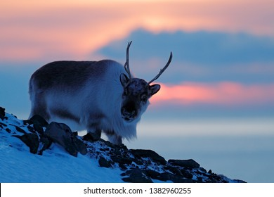 Winter landscape with reindeer. Wild Reindeer, Rangifer tarandus, with massive antlers in snow, Svalbard, Norway. Svalbard deer on rocky mountain. Wildlife scene from nature. Evening twilight sunset.