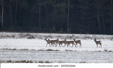 Winter landscape of roe deer herd in meadow with forest in background, Podlasie Region, Poland, Europe