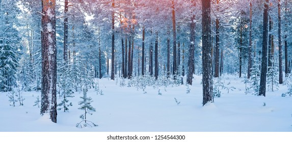 Winter landscape. Snow covered coniferous forest in winter calm evening