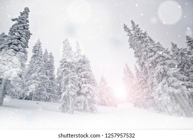 Winter landscape, snow covered pine trees