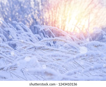 Winter landscape with snow-covered reeds in the sun