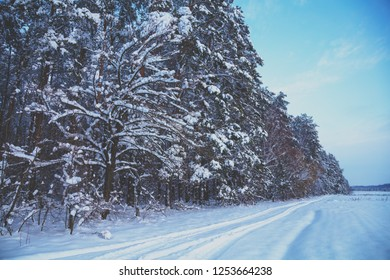 Winter landscape. Snowy field and pine forest