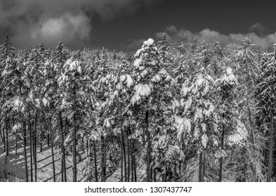 Winter landscape with snowy spruce trees, Tutzing, Upper Bavaria, Bavaria, Germany, Europe
