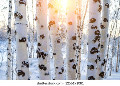 Winter landscape with snowy trunks of birch tree. Birch trees at sunset