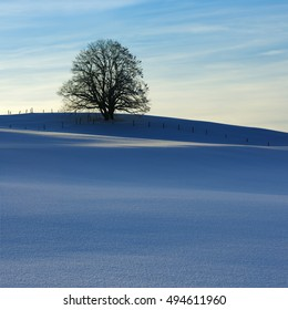 Winter Landscape, Solitary Beech Tree in Field Covered by Snow