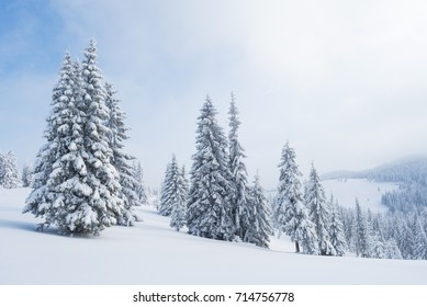 Winter landscape with a spruce forest in the snow. A cloudy day in the mountains