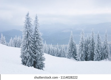 Winter landscape with spruce trees in the snow. Fog in the mountains
