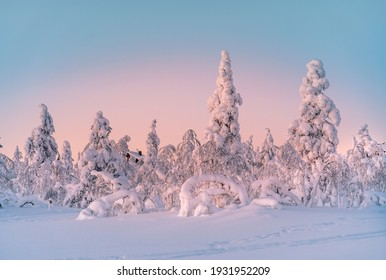 Winter landscape at sunrise in Finnish Lapland. Spruce trees covered by snow.
