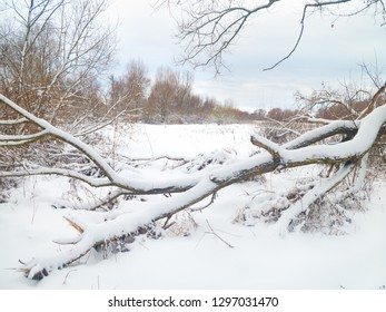 Winter landscape. A tree fallen by the wind lies in the snow.