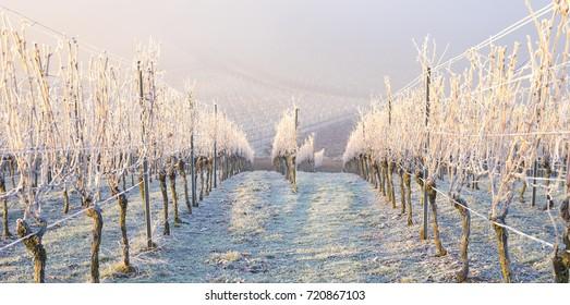 Winter landscape in the vineyard