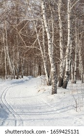 Winter landscape, white birch forest in the snow, sunny day.
