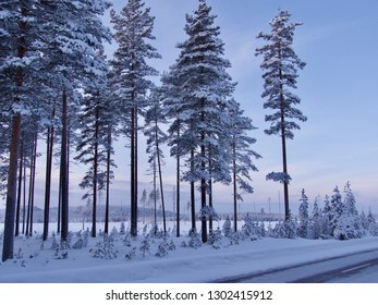 winter lapland, forest in the North of Sweden