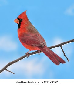 A winter male Northern Cardinal (Cardinalis cardinalis) on an icy branch against a blue sky.