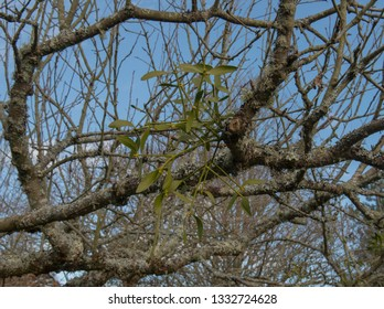 Winter Mistletoe (Viscum album) Growing on an Apple Tree Covered with Lichens in an Orchard in Rural Devon, England, UK