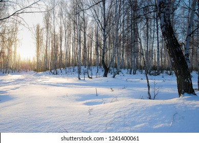 Winter moning in the birchwood with sunlight among birch trunks and blue shadows of snowdrifts