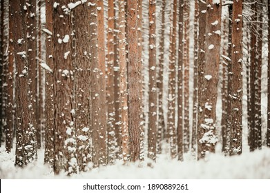 Winter mood in the snowy pine forest.