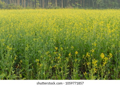 Winter morning - mustard plants field - yellow coloured agricultural field. Rural Indian scene.