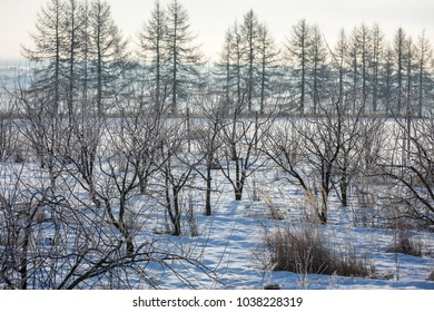 Winter morning, snowy surroundings, cold, frosty. Apple orchard in winter when everything is covered in snow and the cold. Apple tree planting.