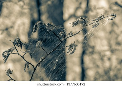 Winter moth caterpillar (Operophtera brumata) are a looper caterpillar and spin silk threads across forest, destroying the leaves and foliage of usually oak trees