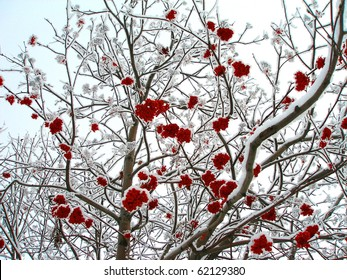 Winter mountain ash, crone