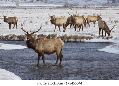 Winter at National Elk Refuge near Jackson, Wyoming, near Grand Teton and Yellowstone National Parks.