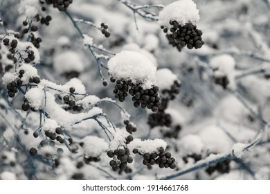 Winter natural background: Snow and berries on the branches