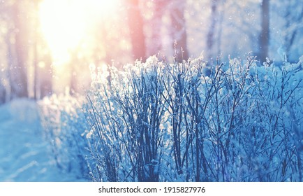 winter natural background. snowy branches, beautiful winter forest landscape. sunny frosty weather. cold winter season.