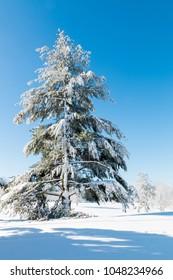Winter natural landscape, a big christmas tree after snowfall.