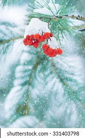 Winter nature background with a snowy coniferous branch and red rowan