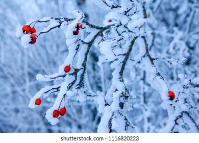 winter nature with frozen red berries on the branches