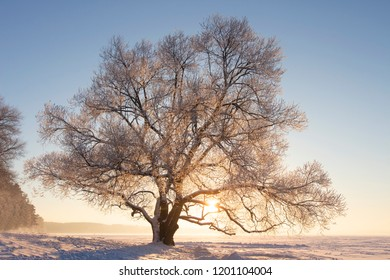 Winter nature landscape in bright sunlight. Frosty tree with hoarfrost on branches on snowy meadow at sunset. Sunny winter evening. Christmas background. Vivid sun shining through tree