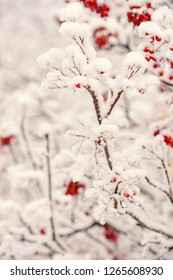 Winter, nature, plant, snowfall, frost. Red berries covered with snow. Rowan bunches on snowy tree. Ashberry in winter on natural background. Christmas or new year concept.