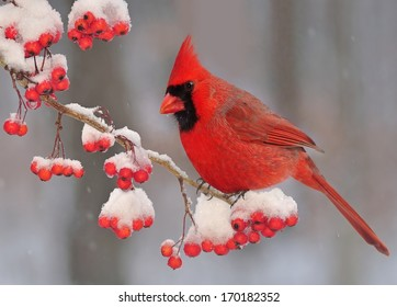 A winter Northern Cardinal (Cardinalis cardinalis) on a snow- covered branch full of bright red hawthorn berries.