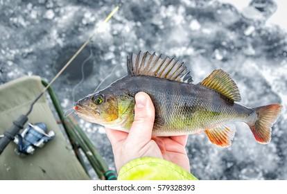 Winter perch fishing trophy