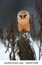 Winter photo Tyto alba guttata  Barn Owl perched on old trunk covered with snow. Dark grey blue background, vertical portrait. Front view.