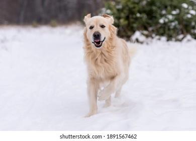 Winter photos of the dog. Golden retriever.