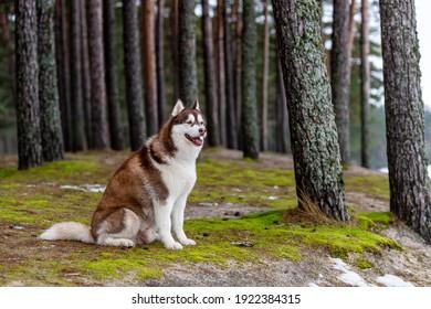 Winter photos of the dog. Siberian Husky.