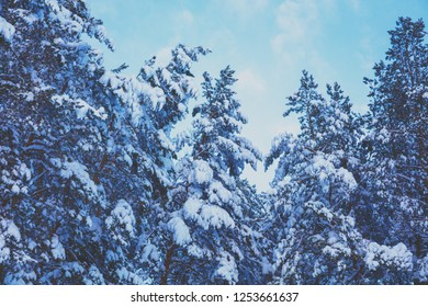 Winter pine forest covered with snow against blue sky