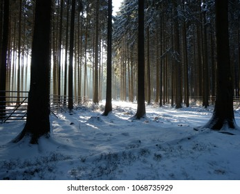 Winter pine forest (Germany)